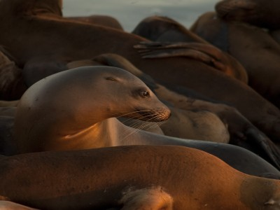USA: California: Monterey County: Moss Landing: Sea Lions at sunset