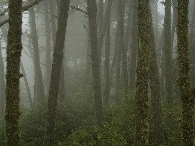 USA: California: Point Reyes National Seashore: Mt Vision forest in fog